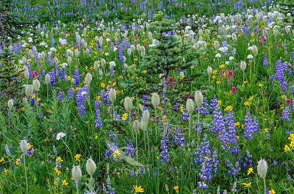 Wildflowers--lupine, arnica, paintbrush, valerian and anemone or western pasqueflower--in subalpine meadow with Subalpine Fir (Abies lasiocarpa), Mount Rainier National Park, WA.  Summer.