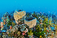 sponge and fire coral reef at 130ft., colonies of fire coral, Millepora alcicornis, inhabit predominantly, Middlegrounds, 100 miles offshore of Tampa, Florida, USA, Gulf of Mexico, Caribbean Sea, Atlantic Ocean