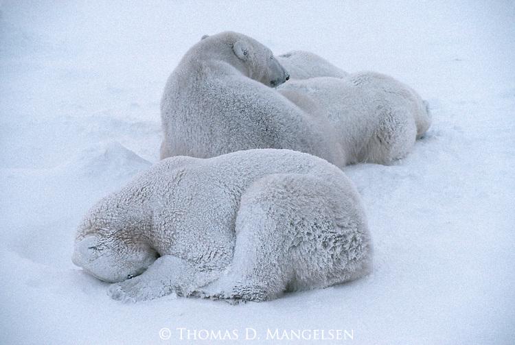 Snow-dusted polar bears sleep in the snow in Churchill, Manitoba, Canada.