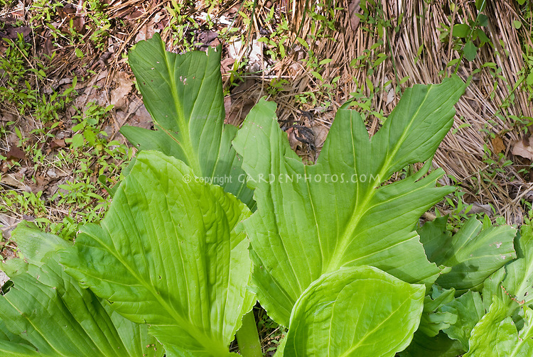 Symplocarpus foetidus leaves foliage eaten by black bear, animal pest damage, native food