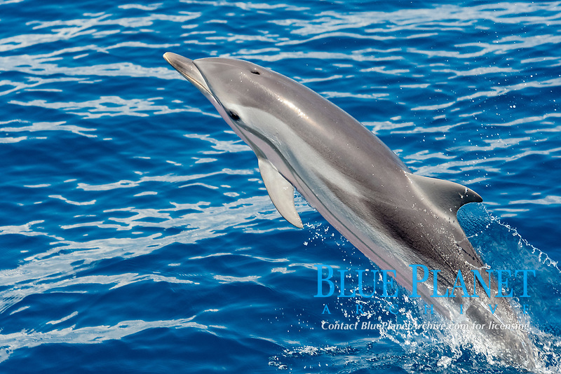 Striped Dolphin, Stenella Coeruleoalba, breaching, Maldives, Indian Ocean