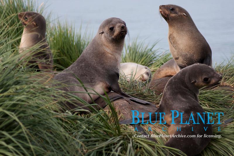 Antarctic Fur Seals, Arctocephalus gazella, juvenile and adult female animals, South Georgia, South Atlantic Ocean