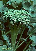 HS17-023c  Broccoli - Botrytis variety