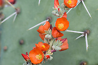 Desert Globemallow or Apricot Mallow (Sphaeralcea ambigua) growing beside Prickly Pear Cacti.  Arizona desert.  Feb-March.