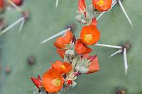 Desert Globemallow or Apricot Mallow (Sphaeralcea ambigua) growing beside Prickly Pear Cacti.  Arizona desert.  Feb-March.