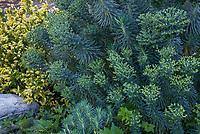 Euphorbia wulfenii, Mediterranean Spurge;  Los Angeles County Arboretum