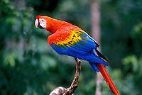 Animais. Aves. Arara, Amazônia. Foto de Ricardo Azoury.
