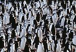 Chinstrap penguins, South Georgia Island