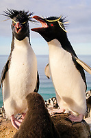 southern rockhopper penguin, Eudyptes chrysocome chrysocome, a subspecies of rockhopper penguin, Eudyptes chrysocome, pair, mother, father and chick in nest, breeding, nesting colony, Saunders Island, Falkland Islands, Atlantic Ocean