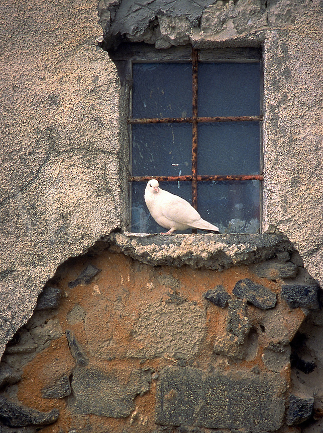One white dove perched on sill of window; peace; grace; animals, birds. Santorini, Greece.