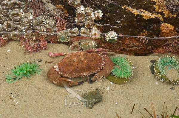 Rock Crab in tidepool among green anemone.  Oregon coast.