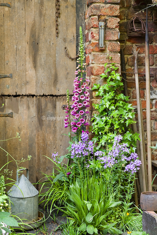 Heirloom flowers Digitalis and phlox, climbing Hedera vine, with rustic garden tools, farm barn door, thermometer, chicken water feeder, antiques, spring garden scene with charm, May or June