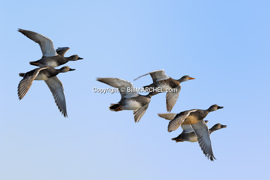 00319-006.03 Gadwall Duck flock in flight against a blue sky.  Hunt, action, courtship, fly, migrate.