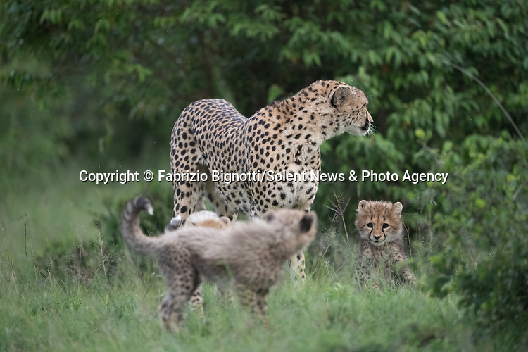 SEQUENCE 15 OF 15:  A young cub takes a tumble as he tries to crawl up his mother's back.  The small African cheetah falls on its paws after being shoved to the ground by its jealous sibling.<br /> <br /> Wrestling each other on the uncut grass, the cubs try to grab their mother's attention.  Amateur photographer Fabrizio Bignotti captured the cubs playing near their mother at Masai Mara National Reserve, Kenya.  SEE OUR COPY FOR DETAILS.<br /> <br /> Please byline: Fabrizio Bignotti/Solent News<br /> <br /> © Fabrizio Bignotti/Solent News & Photo Agency<br /> UK +44 (0) 2380 458800