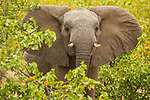 African Elephant (Loxodonta africana) sub-adult bull in defensive posture, Kruger National Park, South Africa