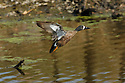 00315-058.20 Blue-winged Teal Duck (DIGITAL) drake in flight low over marsh.  Hunt, action, male, bird, fly, wetland, waterafowl.  H3R1