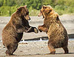 Brown Bears Playfighting on the beach