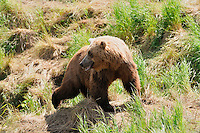 A brown bear looks back over its shoulder at the McNeil River Falls,  in Alaska's McNeil River State Game Sanctuary.