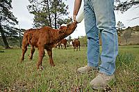 Bottle feeding milk to a calf on a ranch.