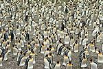 King penguin, South Gergia Island