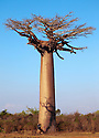 Photographer next to Boabab tree {Adansonia grandidieri}. Morondava, Madagascar.