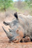 white rhinoceros or square-lipped rhinoceros (Ceratotherium simum) Africa