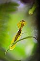 Hooded / Leaf Mantis (Choeradodis sp.) in cloud forest, Manu Biosphere Reserve, Peru. November.