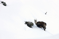 Chamois buck standing in the snow next to a bunch of alpine roses
