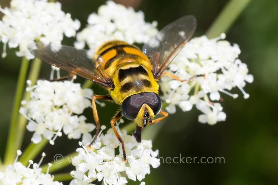 Totenkopfschwebfliege, Totenkopf-Schwebfliege, Gemeine Doldenschwebfliege, Dolden-Schwebfliege, Schwebfliege, Myathropa florea, Deathskull Fly, deathskull hoverfly, L'éristale des fleurs, syrphe tête de mort