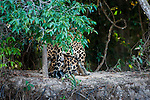 Male / Female Jaguars (Panthera onca palustris) mating. Banks of the Cuiaba River. Near Porto Jofre, northern Pantanal, Mato Grosso State, Brazil.