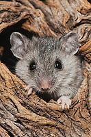 White-footed Mouse (Peromyscus leucopus), adult in tree hole, Sinton, Corpus Christi, Coastal Bend, Texas, USA