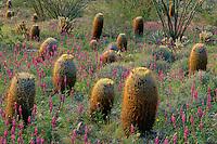 Arizona lupine and red barrel cactus<br /> Vallecito Creek Wash<br /> Anza-Borrego Desert State Park<br /> San Diego County, California