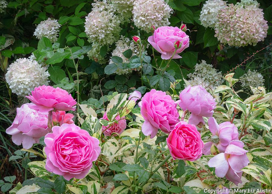 Vashon Maury Island, WA: Rose 'Princess Alexandra of Kent', persacaria 'Painter's Palette' and Hydrangea 'Limelight'