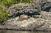 """""""Snapping Turtle""""<br /> <br /> A large snapping turtle basks in the July sun on Birch Lake.<br /> ~ Day 106 of Inspired by Wilderness: A Four Season Solo Canoe Journey"""""""