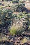 Hanford Reach National Monument, Saddle Mountain National Wildlife Refuge, Wahluke Slope, shrub steppe habitat, grassland, Columbia Basin, eastern Washington, Washington State, Pacific Northwest, USA, North America,
