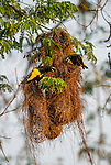 Yellow-rumped Caciques (Cacicus cela) at their nest. Forests along the banks of the Cuiaba River, northern Pantanal, Mato Grosso State, Brazil.