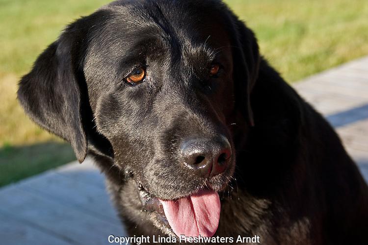 Black Labrador retriever (AKC) close-up.  Summer.  Winter, WI.