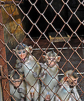 Baby Long Tailed Macaque monkeys at the Conghua Yueyuan Laboratory Animal Breeding Center, Guangdong Province, China. The center breeds monkeys mostly for export to the US and Europe where pharmaceutical and cosmetic companies use them vivisection....SINOPIX PHOTO.