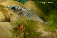 1S47-514z Threespine Stickleback, male courting gravid female with a zigzag dance, she responds with a head-up posture to display her swollen belly, Gasterosteus aculeatus