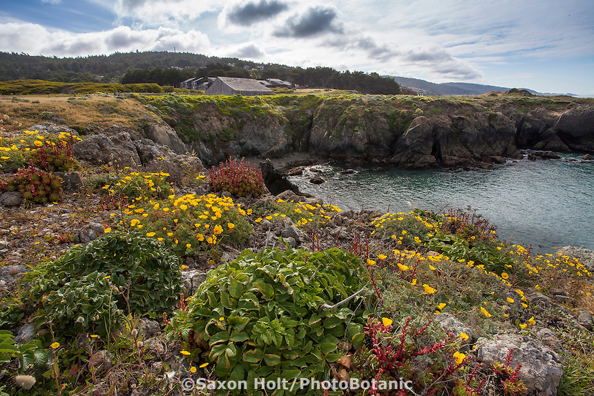 California native wildflowers on coastal bluff at Black Point - across from Sea Ranch Lodge and Bihler's Point, The Sea Ranch