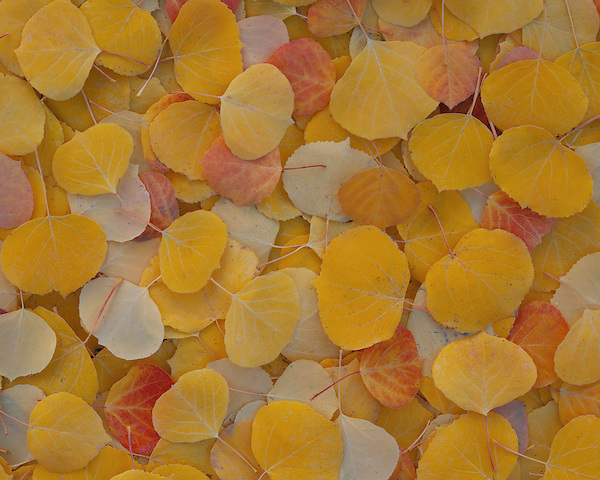 Autumn colored Aspen leaves in a natural pattern, Colorado, USA. .  John offers private photo tours and workshops throughout Colorado. Year-round.