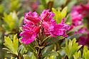 Alpenrose (Rhododendron ferrugineum) Nordtirol, Austrian Alps, Austria, July.