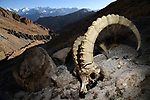 Skull of a male Himalayan ibex (Capra sibirica) (killed by a snow leopard) lying on steep rocky slope. Himalayas, Ladakh, northern India.