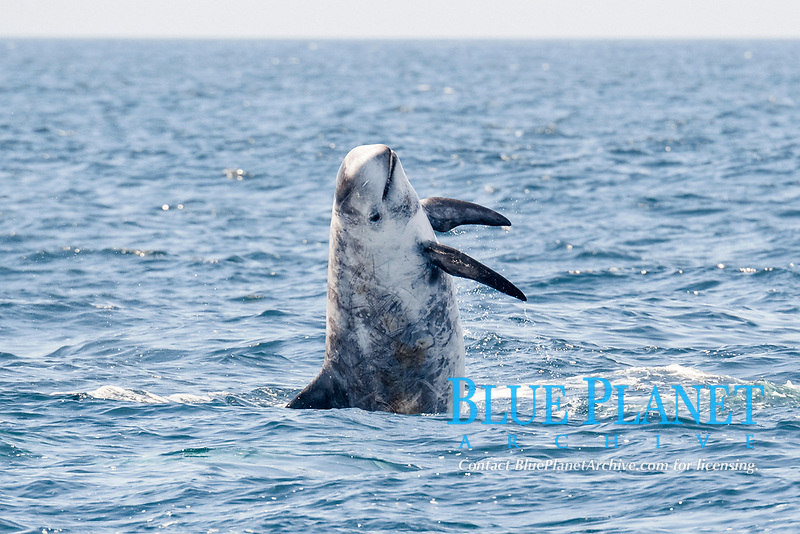 Risso's dolphin, Grampus griseus, breaching, Monterey, California, USA, Pacific Ocean