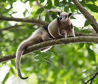 One of my favorite Costa Rican animals is the tamandua. We saw a couple in Corcovado this time.
