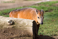 0601-1103  Red-flanked Duiker, Cephalophus rufilatus  © David Kuhn/Dwight Kuhn Photography