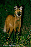 Maned Wolf (Chrysocyon brachyurus), at night in savanna habitat, Pampas del Heath along Heath River, Madidi National Park, Bolivia.