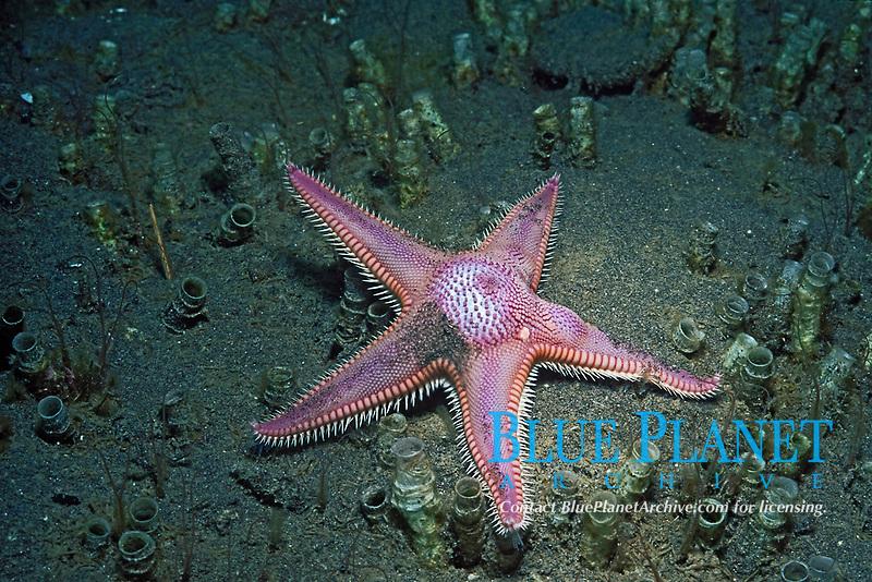spiny sand star, Astropecten armatus, Anacapa Island, California, USA, Pacific Ocean