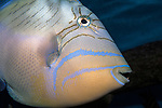 Queen Triggerfish swimming right close-up
