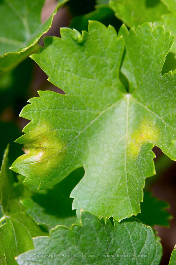 Vine leaf showing attack by downy mildew le cellier des princes chateauneuf du pape rhone france